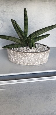Starfish succulent in oval container