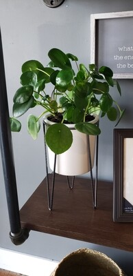Money Plant in White Plant Stand
