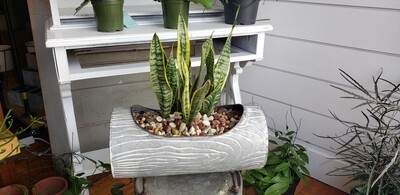 Snake Plant in Log container
