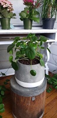 Money Plant in Large Pot