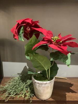 Poinsettia In Pot