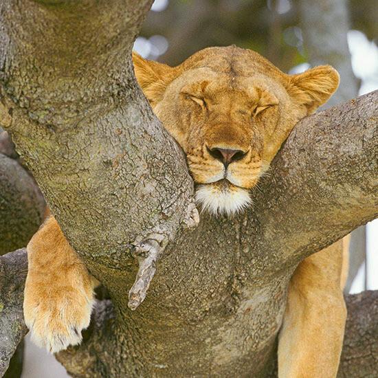 """CARTE DOUBLE PHOTO """"LIONNE QUI FAIT LA SIESTE"""""""