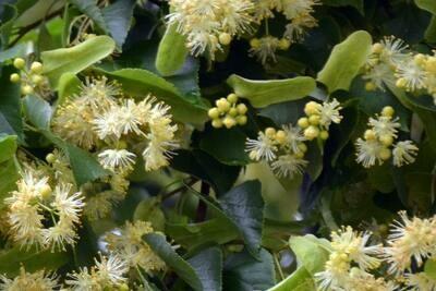 Lindenblüten Sirup (5 dl)