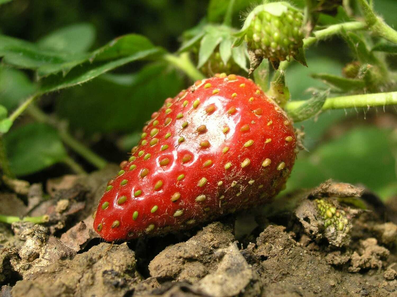 Erdbeer Sirup (5 dl)