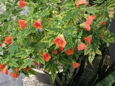 ABUTILON pictum Thompsonii (Flowering Maple)