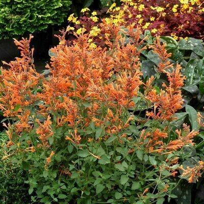AGASTACHE Kudos Mandarin (Hummingbird Mint)