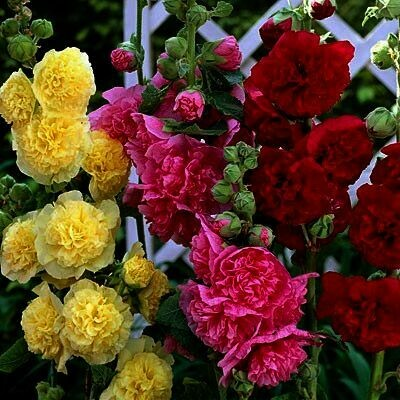 ALCEA rosea Chaters Mix (Hollyhock)