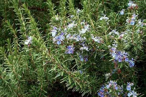 ROSEMARY Rosmarinus officinalis Tuscan Blue