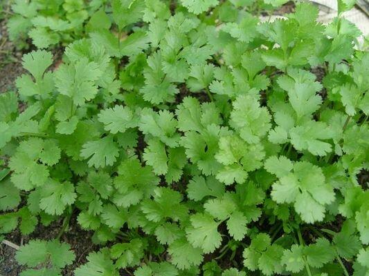 CILANTRO-CORIANDER Coriadrum sativum
