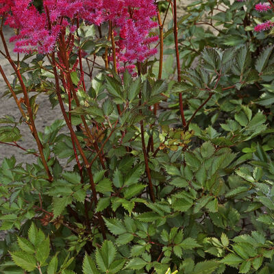 ASTILBE chinensis Mighty Chocolate Cherry