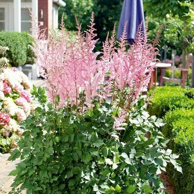 ASTILBE chinensis Mighty Pip