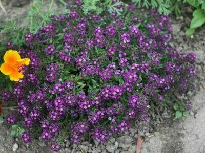 ALYSSUM Lobularia Clear Crystal  Purple