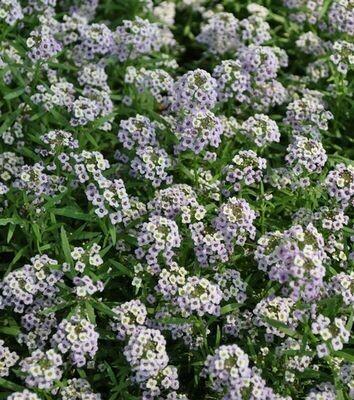 ALYSSUM Lobularia  Deep Lavender Stream
