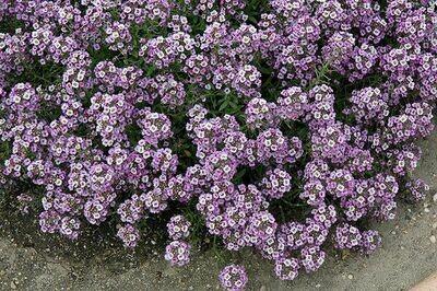 ALYSSUM  Lobularia Clear Crystal  Lavender Shades