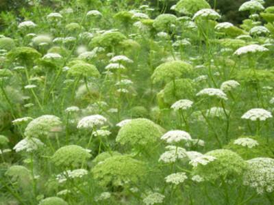 AMMI visnaga Green Mist (False Queen Anne's Lace)