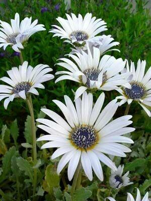 ARCTOTIS grandis /venusta (African Daisy)