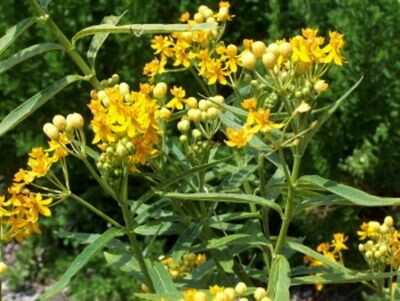 ASCLEPIAS curassavica Silky Gold