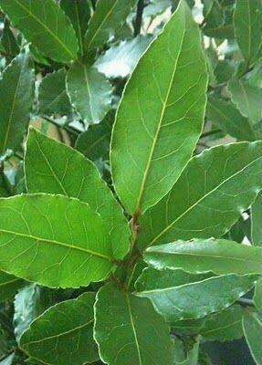BAY LAUREL Laurus nobilis (Sweet Bay Leaf Tree)