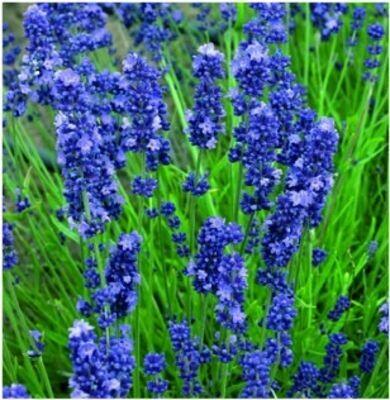 LAVENDER augustifolia Super Blue