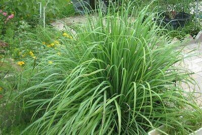 LEMON GRASS Cymbopogon citratus
