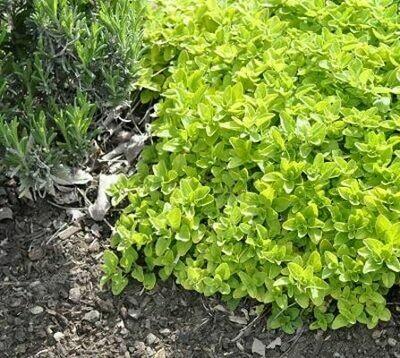 OREGANO Origanum vulgare Aureum (Golden Creeping)