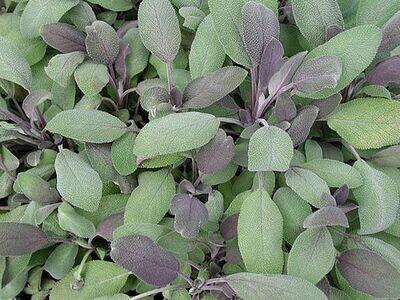 SAGE officinalis purpurascens (Purple Sage)