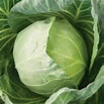 CABBAGE Brassica oleracea var. capitata  Primo Vantage F1