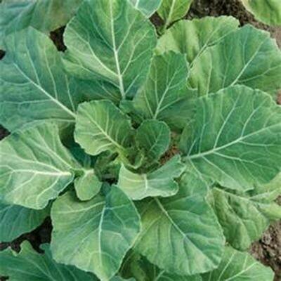 COLLARDS Brassica oleracea Top Bunch F1