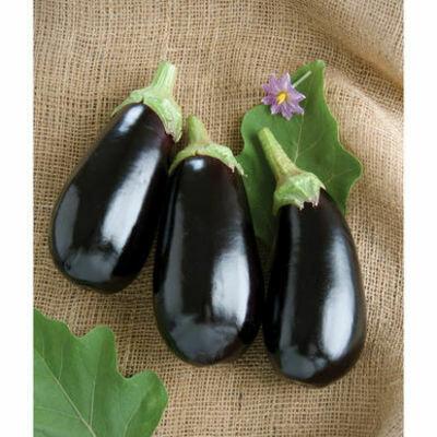 EGGPLANT Solanum melongena  Nadia F1