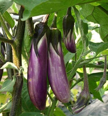 EGGPLANT Solanum melongena Orient Express F1