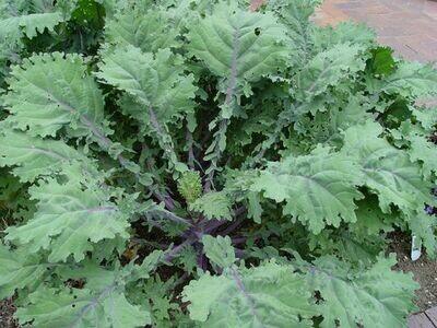KALE Brassica napus Red Russian