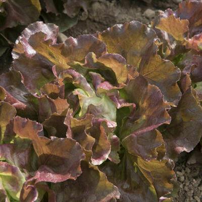 LETTUCE Lactuca sativa Skyphos (Red Butterhead)