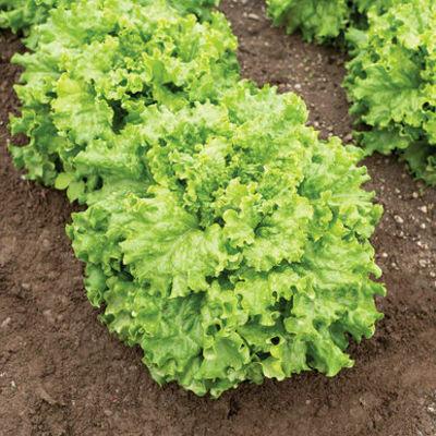 LETTUCE  Lactuca sativa Grazion  (Green Leaf)