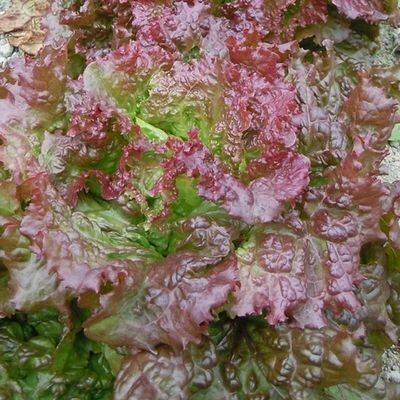 LETTUCE  Lactuca sativa New Red Fire (Red Leaf)