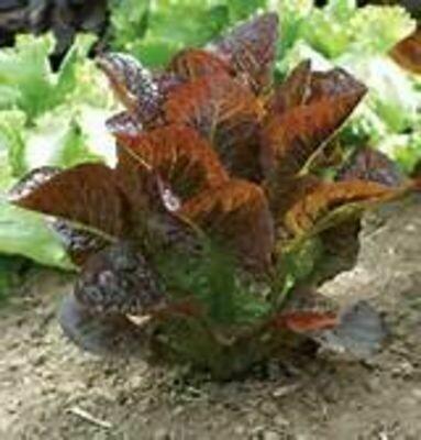 LETTUCE Lactuca sativa  Red Rosie (Red Romaine)