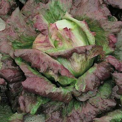 LETTUCE   Lactuca sativa Magenta (Red Summer Crisp)