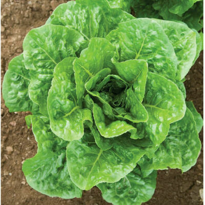 LETTUCE Lactuca sativa Salvius (Green Romaine)
