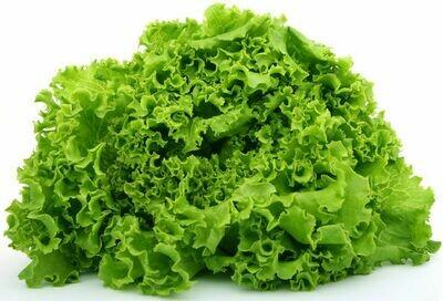 LETTUCE Lactuca sativa  Muir (Green Summer Crisp)