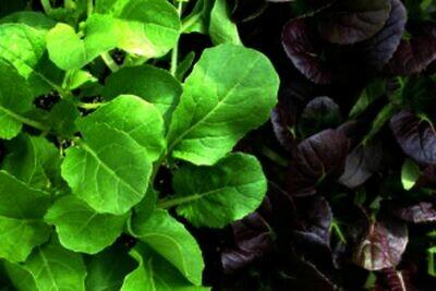 PAC CHOI Brassica rapa var. chinensis  Mix