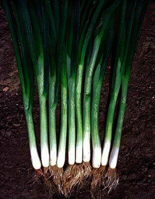ONION Allium fistulosum cepa Green Banner (Bunching)