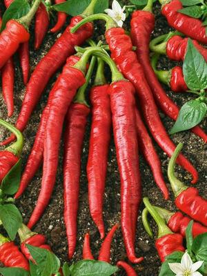 PEPPER Capsicum annuum   Cayenne Long Red Thin (Hot Pepper)