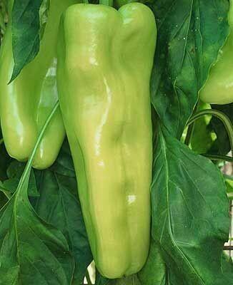 PEPPER Capsicum annuum Cubanelle   (Sweet Italian Frying)