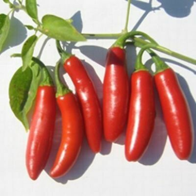 PEPPER Capsicum annuum Serrano Chili  (Hot Pepper)