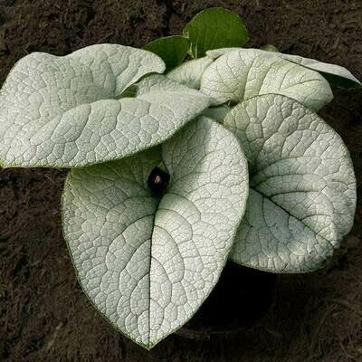 BRUNNERA macrophylla Alexandria