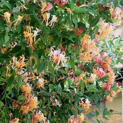 LONICERA heckrottii Goldflame (Honeysuckle)