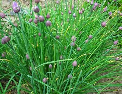 CHIVES Allium schoenoprasum  Onion