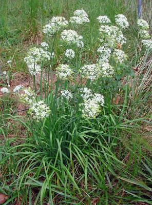 CHIVES Allium schoenoprasum Geisha Garlic