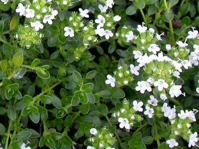 THYME praecox Albiflorous (White Moss Thyme)