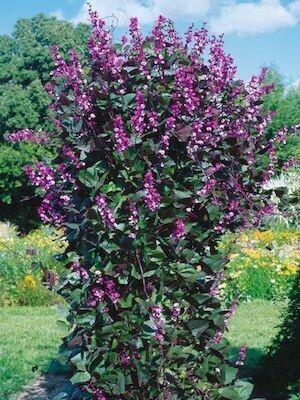 HYACINTH BEAN VINE lablab purpurea Ruby Moon