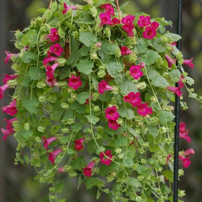 LOPHOSPERMUM  Compact Rose